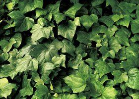 ヘデラ(アイビー)の葉のA4サイズ背景素材