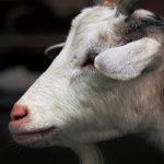 ヤギの顔のアップのA4サイズ背景素材
