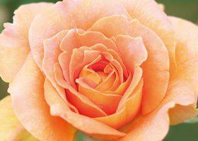 上から見たオレンジ色のバラのA4サイズ背景素材