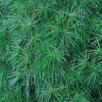 松の葉っぱが広がるA4サイズ背景素材