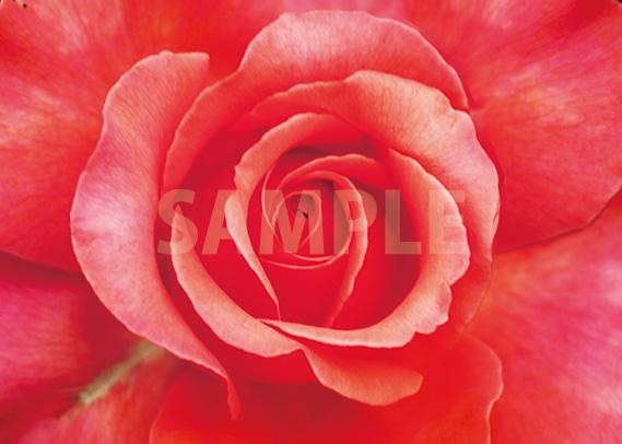 赤いバラの花アップのA4サイズ背景素材