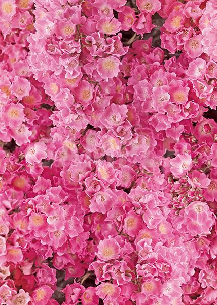 ピンク色のマリア リサの花アップのA4サイズ背景素材