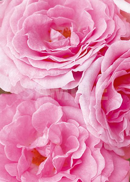 ピンク色のバラの花のA4サイズ背景素材