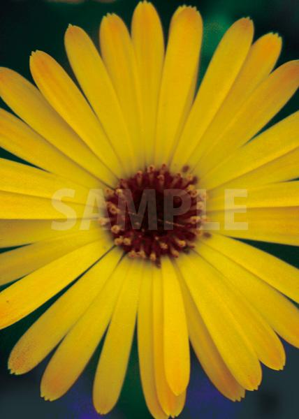 上から見た黄色の花のA4サイズ背景素材