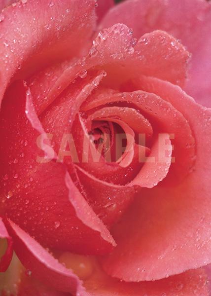 ピンクのバラの花のA4サイズ背景素材