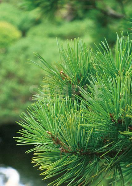 松の葉っぱのA4サイズ背景素材データ