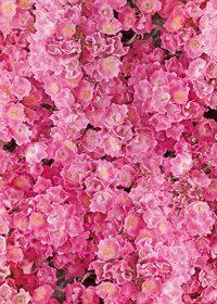 ピンク色のマリア リサの花のA4サイズ背景素材